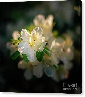 Golden White Azaleas Canvas Print