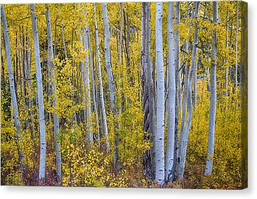 Golden Wilderness Canvas Print by James BO  Insogna