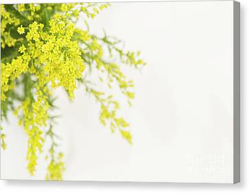Goldenrod Canvas Print by Anne Gilbert