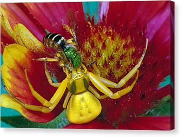 Goldenrod Crab Spider Misumena Vatia Canvas Print by Panoramic Images