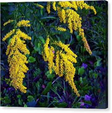 Canvas Print featuring the photograph Goldenrod by Shawna Rowe