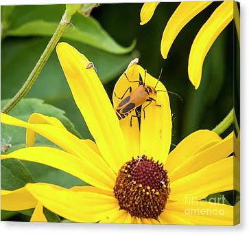 Canvas Print featuring the photograph Goldenrod Soldier Beetle by Ricky L Jones