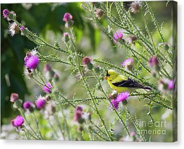 Goldfinch And Thorns Canvas Print by David Cutts