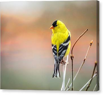 Goldfinch At Sunrise Canvas Print by Susan Capuano
