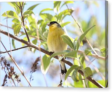 Goldfinch In Spring Tree Canvas Print by Carol Groenen