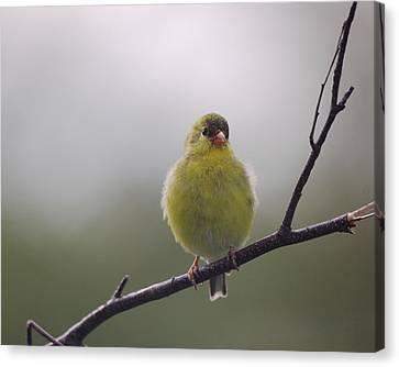 Canvas Print featuring the photograph Goldfinch Puffball by Susan Capuano