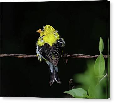Goldfinch Canvas Print by Ronda Ryan