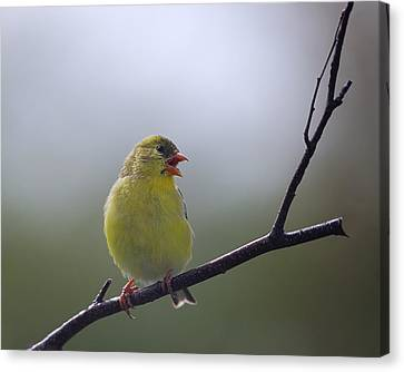 Canvas Print featuring the photograph Goldfinch Song by Susan Capuano