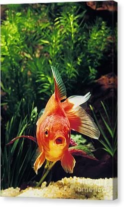 Goldfish Carassius Auratus Canvas Print by Gerard Lacz