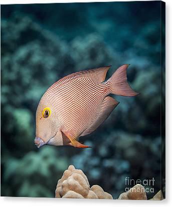 Goldring Surgeonfish  Ctenochaetus Canvas Print