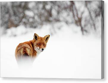 Gonna Walk And Don't Look Back - Red Fox In The Snow Canvas Print by Roeselien Raimond