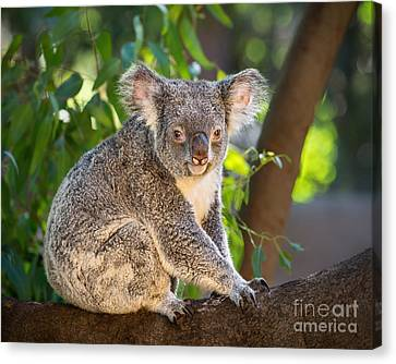 Good Morning Koala Canvas Print