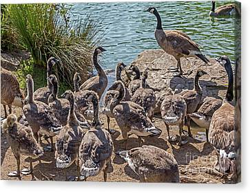 Goose Family Gathering Canvas Print by Kate Brown