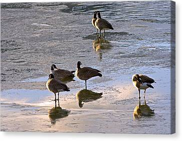 Goose Ice Refections Canvas Print by James Steele