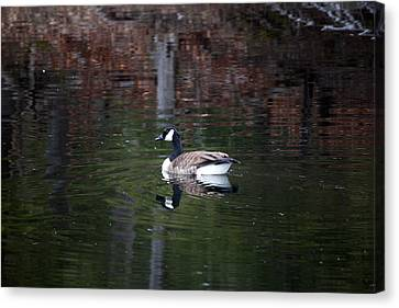 Goose On A Pond Canvas Print by Jeff Severson