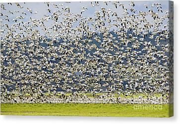 Goose Storm Canvas Print by Mike Dawson