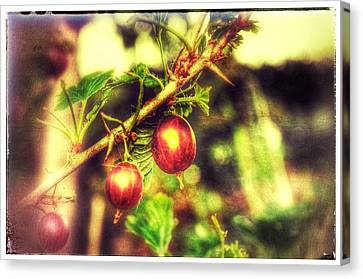 Canvas Print featuring the photograph Gooseberry Fool by Isabella F Abbie Shores FRSA