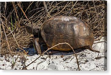 Turtle Shell Canvas Print - Gopher Tortoises by Capt Gerry Hare