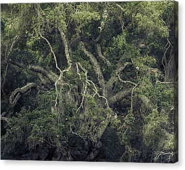 Canvas Print featuring the photograph Gordian Oak by Alexander Kunz