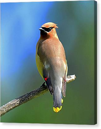 Canvas Print featuring the photograph Gorgeous Cedar Waxwing by Rodney Campbell