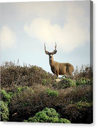 Gorgeous Pg Deer Cropped Canvas Print by Joyce Dickens