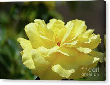 Gorgeous Yellow Rose Canvas Print by Ruth Housley