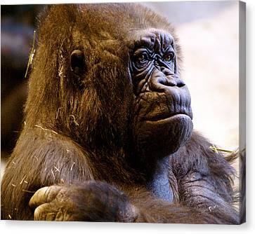 Gorilla Headshot Canvas Print by Sonja Anderson