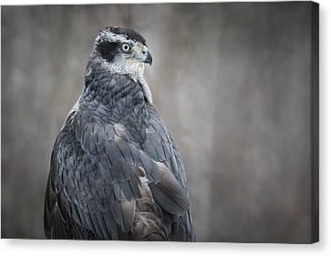 Goshawk Canvas Print by Angie Rea