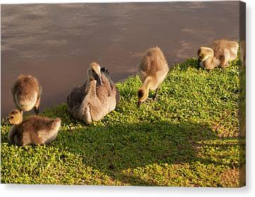 Goslings Basking In The Sunset Canvas Print by Chris Flees