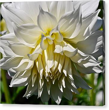 Graceful Dahlia  Canvas Print