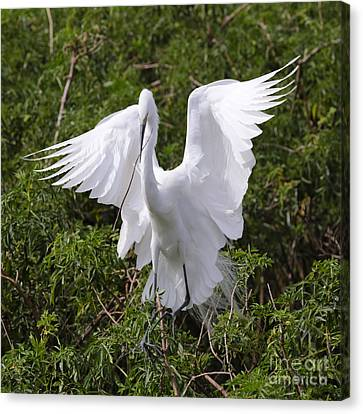 Graceful Egret Nest Builder Canvas Print by Carol Groenen