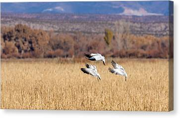 Graceful Landing - Snow Geese Canvas Print by SharaLee Art