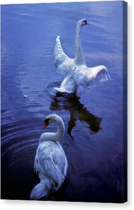 Graceful Swans Canvas Print