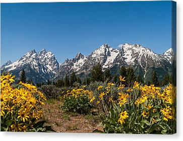 Grand Teton Arrow Leaf Balsamroot Canvas Print by Brian Harig