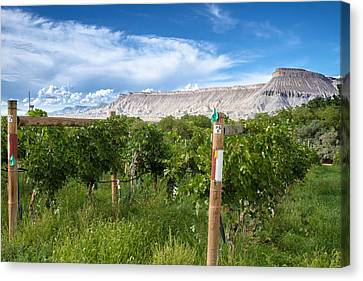Grand Valley Wine Vineyards Canvas Print by Teri Virbickis