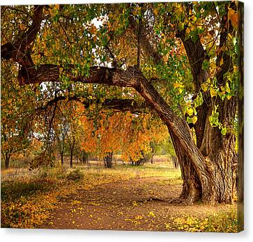 Grandfather Cottonwood Canvas Print by Tim Reaves