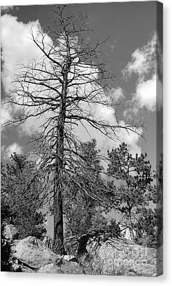 Grandfather Tree Canvas Print by Pete Hellmann