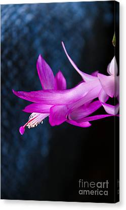 Granny's Christmas Cactus Canvas Print by Marilyn Carlyle Greiner