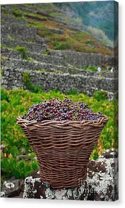 Grape Harvest Canvas Print by Gaspar Avila