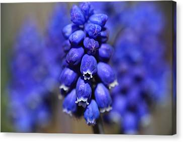 Grape Hyacinth - Muscari Canvas Print by Donna Kennedy