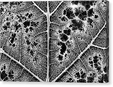 Grape Leaf Monochrome Canvas Print by Tim Gainey