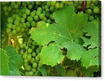Grape Vine Heavy With Green Grapes Canvas Print by Anne Keiser