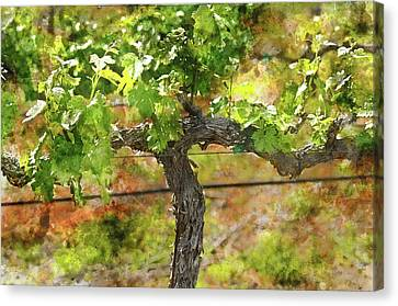 Winery Canvas Print - Grape Vine In Spring Napa by Brandon Bourdages