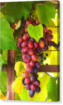 Grape Vine Canvas Print by Utah Images