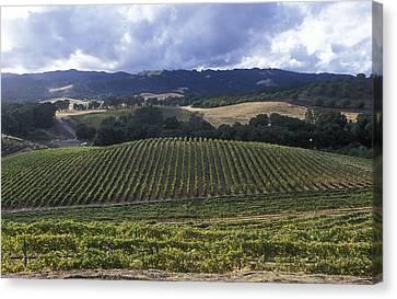 Grape Vines On Opolo Vineyards Canvas Print by Rich Reid