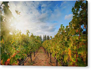 Grape Vineyard At Winery In Napa  Canvas Print by Jennifer Rondinelli Reilly - Fine Art Photography