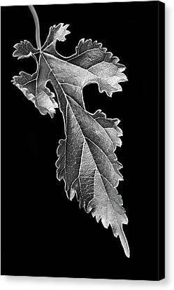Grape Leaf Canvas Print - Grapeleaf Anemone by Nikolyn McDonald