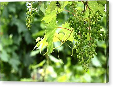 Luscious Grapes Canvas Print by Brian Manfra