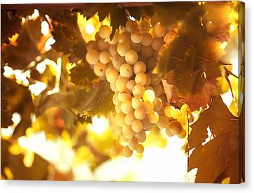 Grapes Filled With Sun Canvas Print by Jenny Rainbow