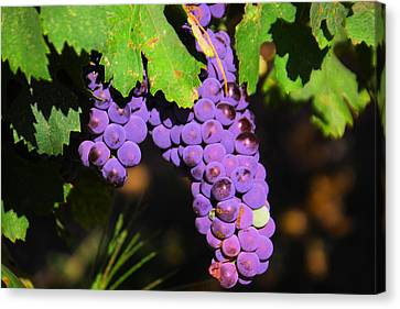 Vintner Canvas Print - Grapes In The Sun by Jeff Swan